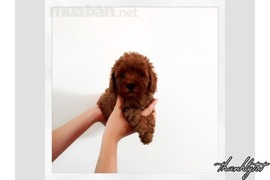 Đàn toy Poodle phantom